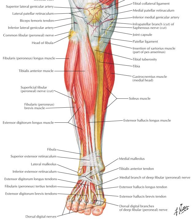 Leg Dorsal Foot Yuhhhhhh Flashcards Memorang