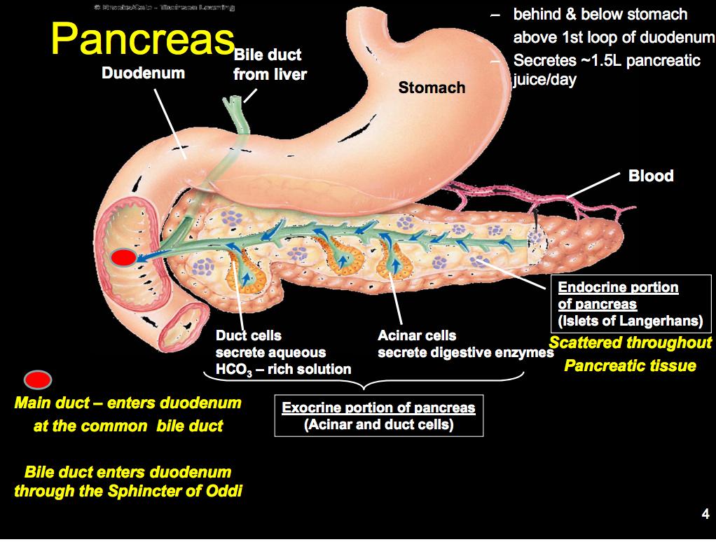 Physiology L21 Pancreas Flashcards Memorang