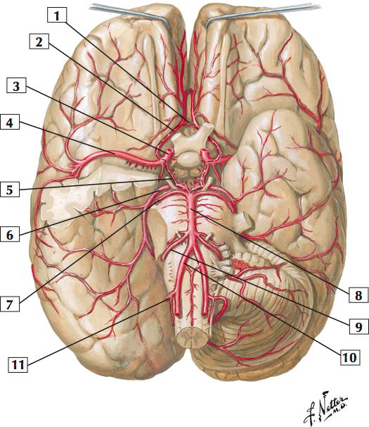 Arteries of Brain: Inferior View (Sample) (Netter\'s Anatomy: Head ...
