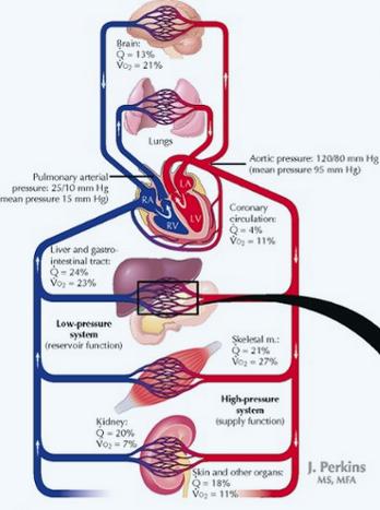 Cardiovascular System (Histology Block 2) Flashcards   Memorang
