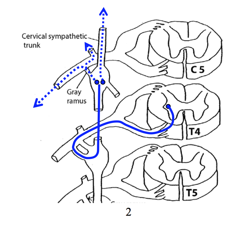 Autonomic Ns Ii Fms2 Gross Anatomy Flashcards Memorang