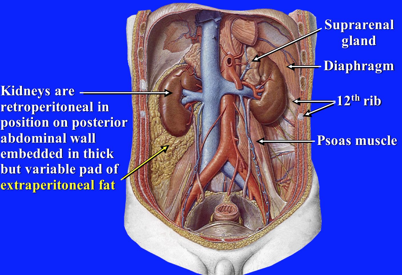 Gross Anatomy Renal Flashcards Memorang