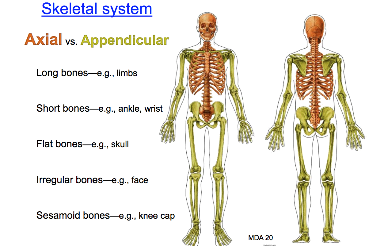 Anatomy GS1 Concepts (Terms from anatomy unit 1) Flashcards | Memorang