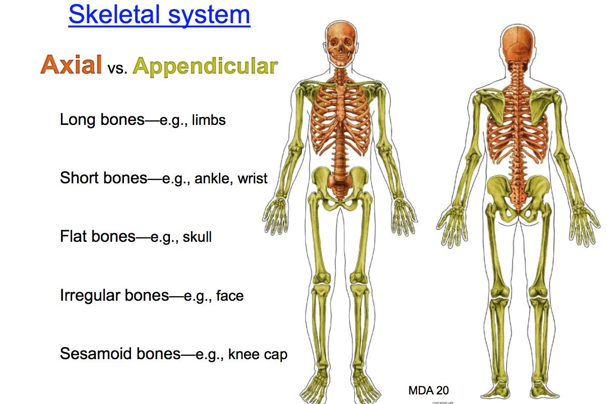 Anatomy Unit 1 Anatomy 1 Flashcards Memorang