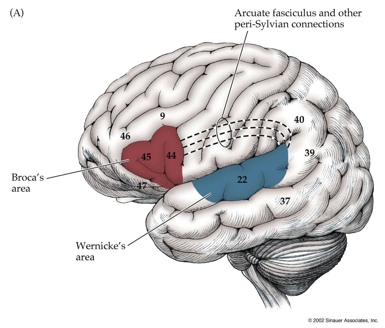 Higher Order Cerebral Function (Neuroanatomy) Flashcards | Memorang