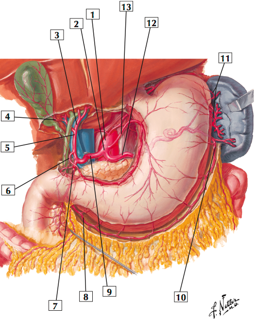 Arteries of stomach liver and spleen sample netters anatomy arteries of stomach liver and spleen sample netters anatomy abdomen vessels flashcards memorang ccuart Choice Image