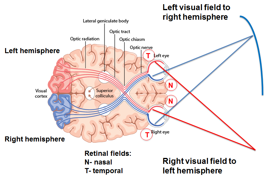Image result for diagram visual field of optic nerve