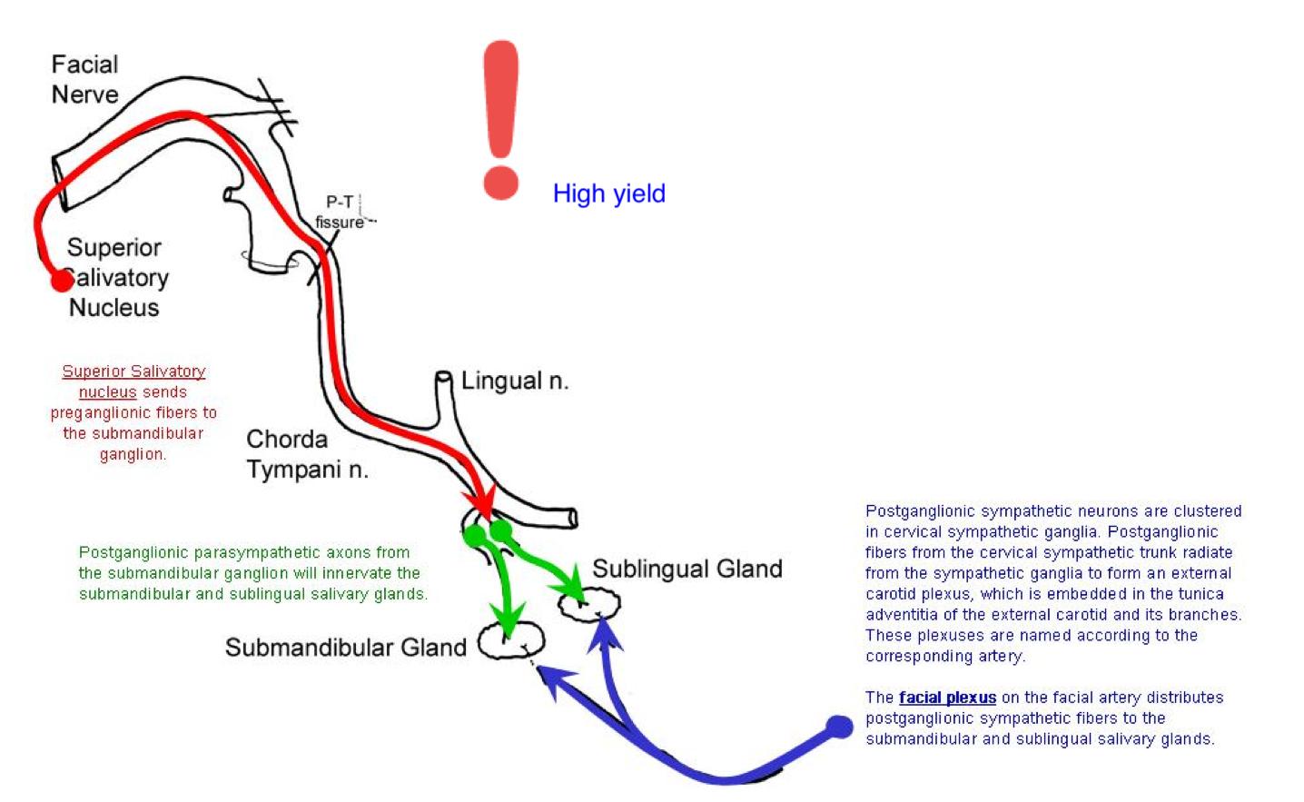 Sublingual Gland Anatomy Gallery - human body anatomy