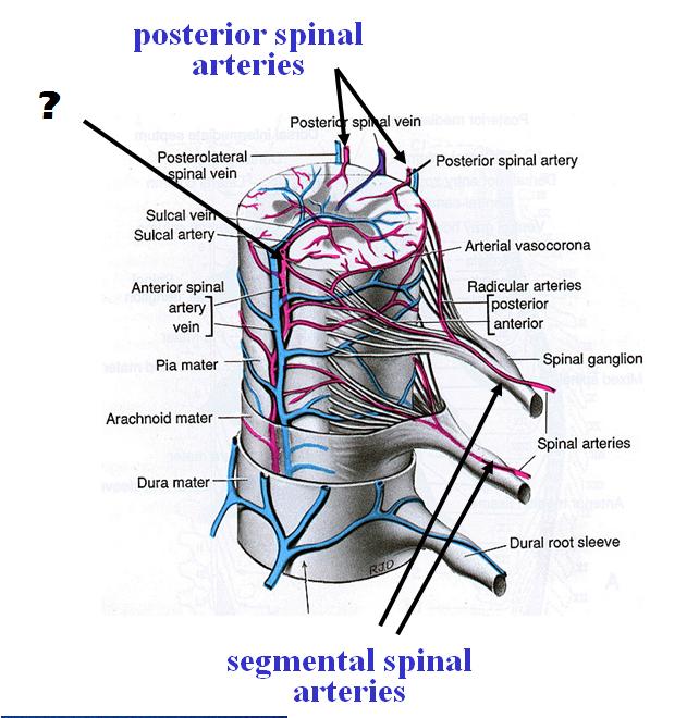 Spinal Cord Block 4 Anatomy Flashcards Memorang