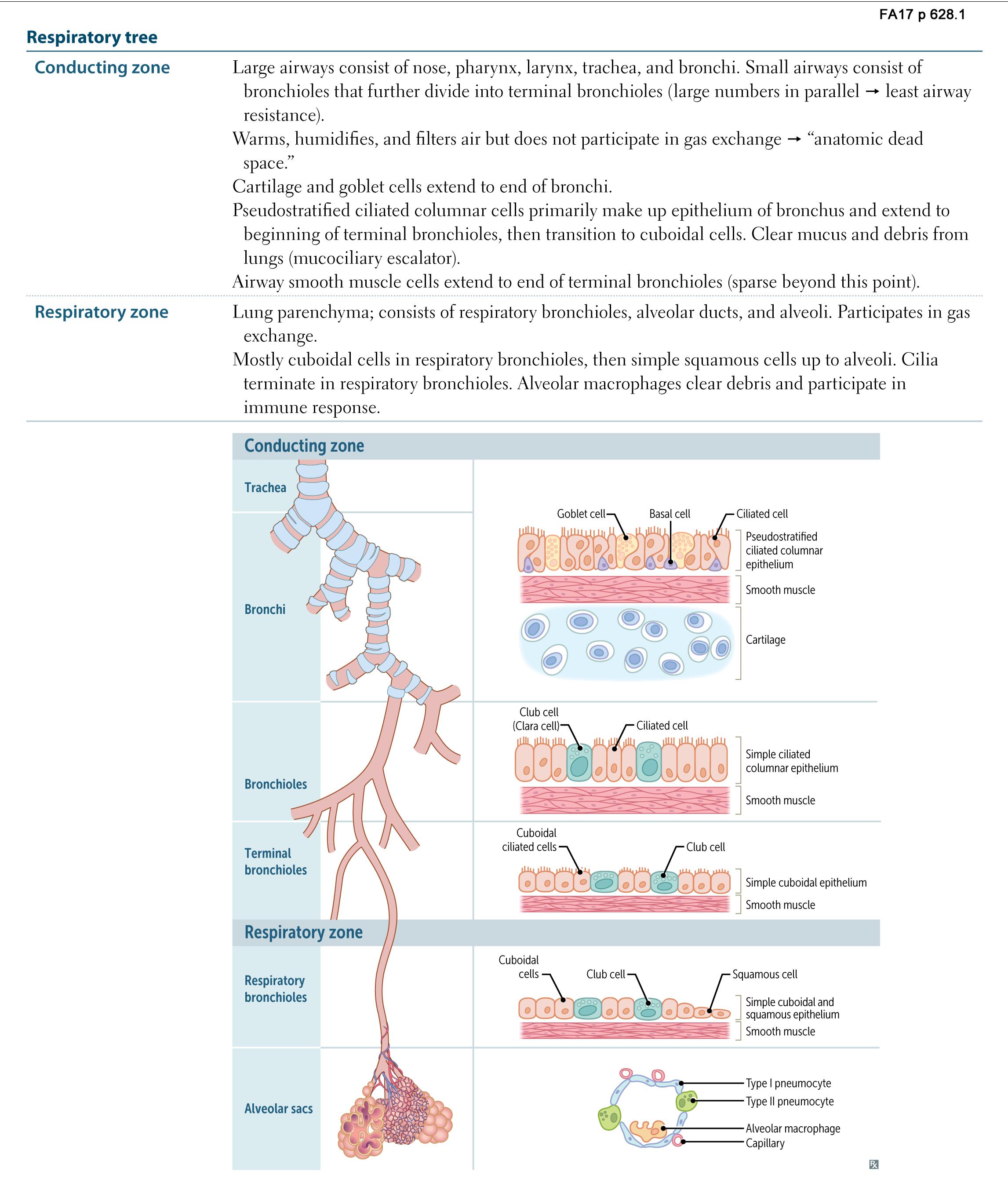 Respiratory Anatomy Respiratory Tree Usmle Rx 2017