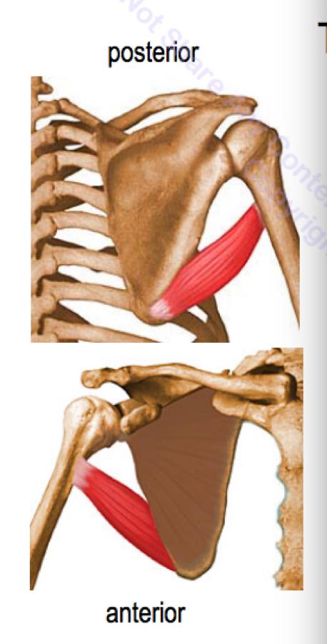 scapular and deltoid regions (msk) flashcards | memorang, Human Body