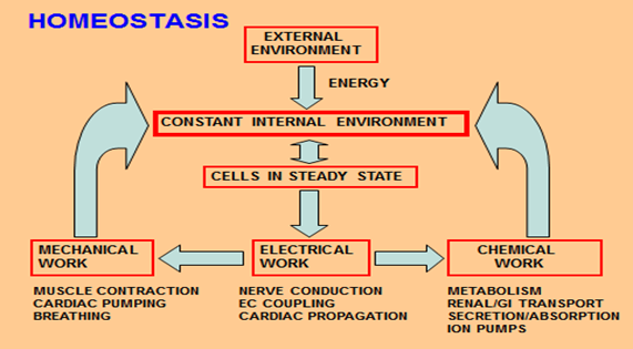 Homeostasis L1 (Human Physiology Exam 3) Flashcards | Memorang