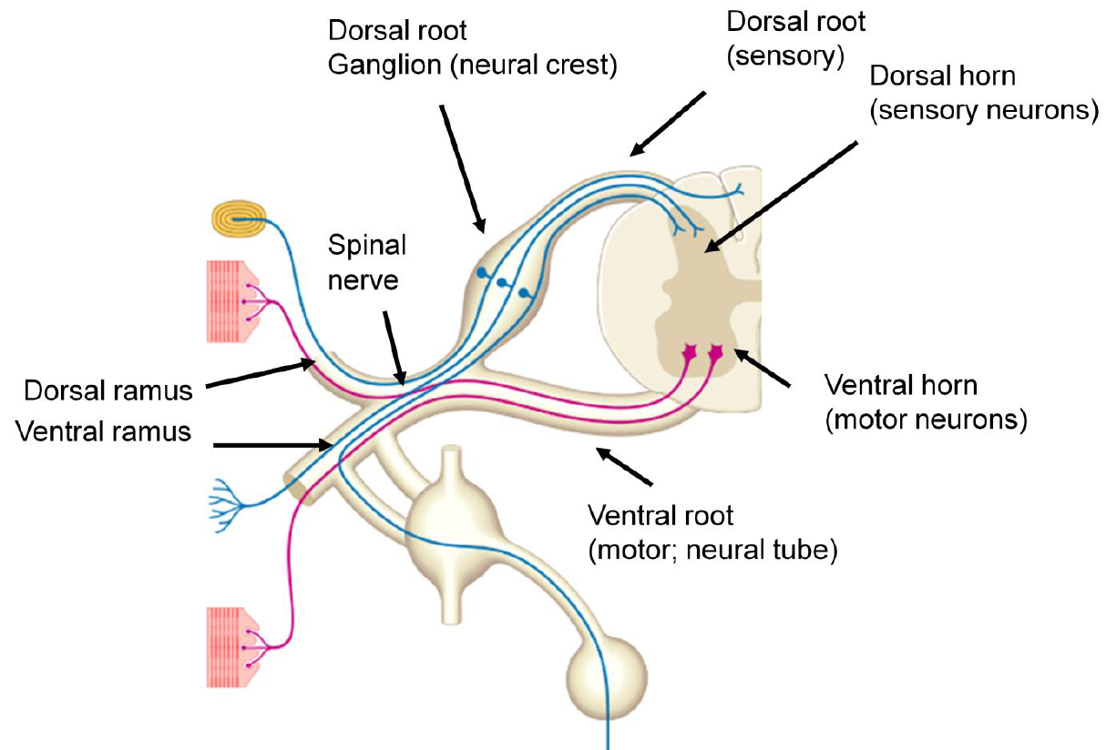 Spinal Cord I Organization And Neural Systems 27 Bb Flashcards
