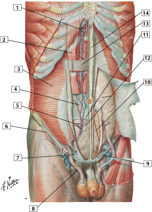 Abdominal Wall: Deep Dissection (Sample) (Netter\'s Anatomy: Abdomen ...