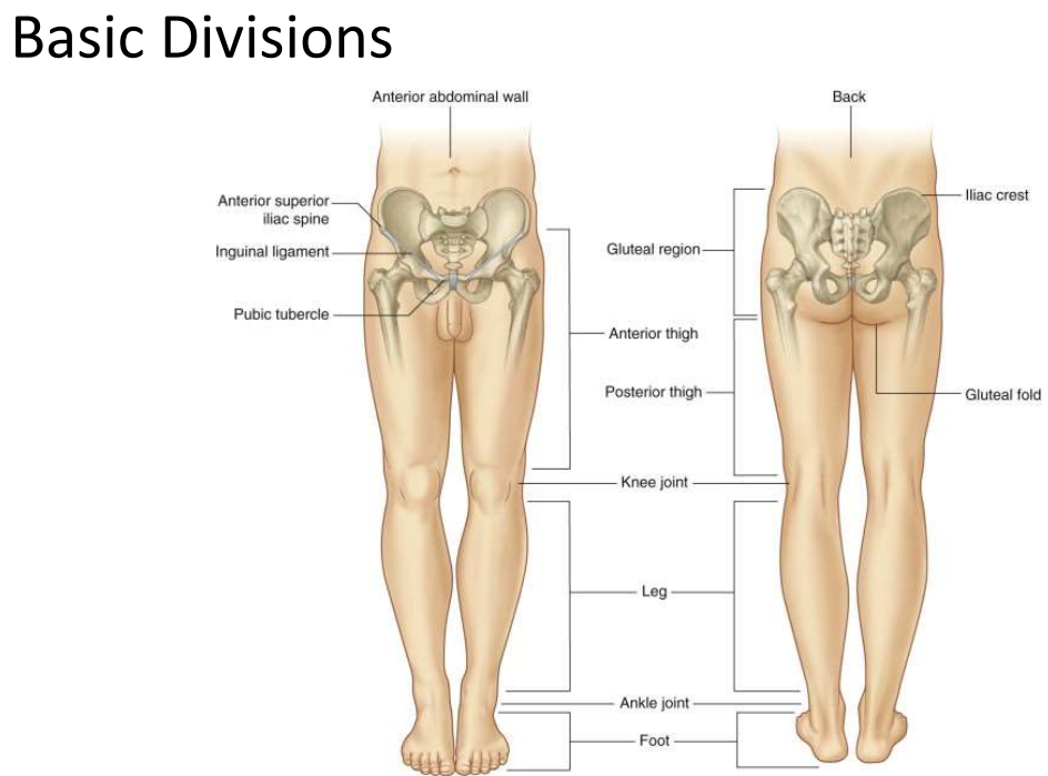 Superficial and Osseous Lower Limb (Y1S1 - Anatomy - Block 3 ...