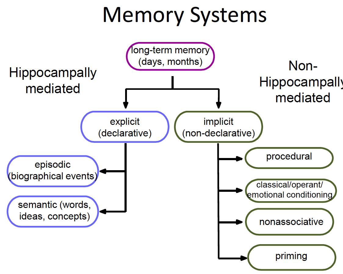 Memory in the Medial Temporal Lobe & AD 2/22 (BB) Flashcards | Memorang