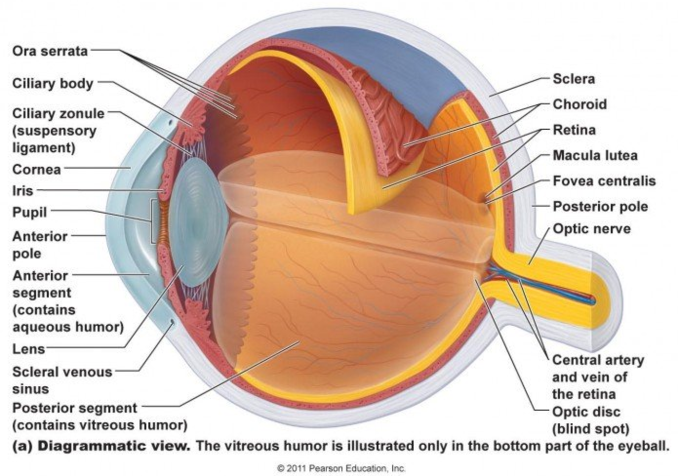 Ocular Anatomy and Function Lab 2/7 (Eye lab) Flashcards | Memorang