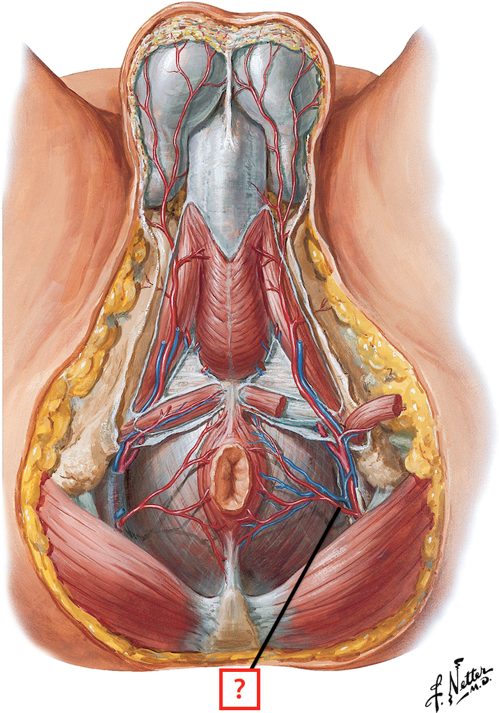 Arteries And Veins Of Male Perineum Flashcards Memorang