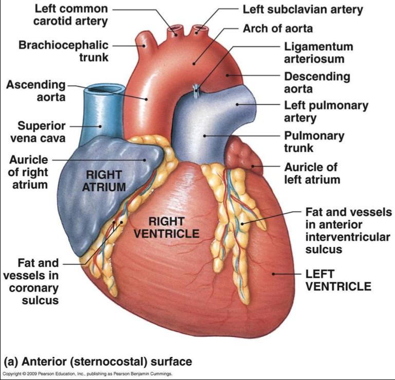Heart & Blood (Anatomy and Histology) Flashcards | Memorang