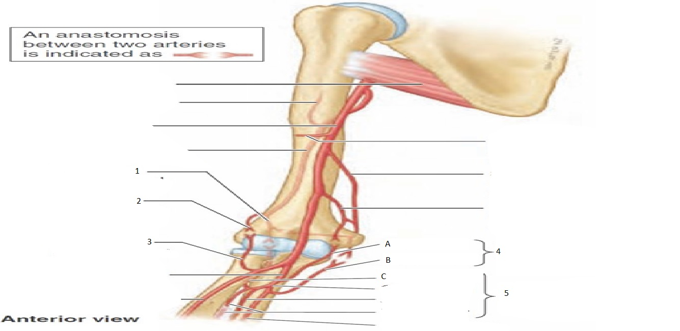 Upper Limb: Brachium, Elbow, Cubital Fossa (Musculoskeletal System ...