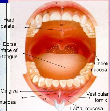 labial mucosa diagram wiring diagram tutorial Labial Mucosa Cancer labial mucosa diagram basic electronics wiring diagramhead and neck anatomy oral cavity (complete) flashcards