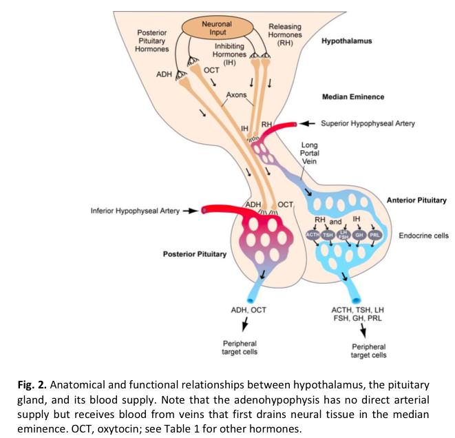 Hypothalamus Pituitary Axis Endocrinology Flashcards Memorang