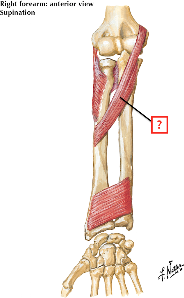 Muscles Of Forearm Flashcards Memorang