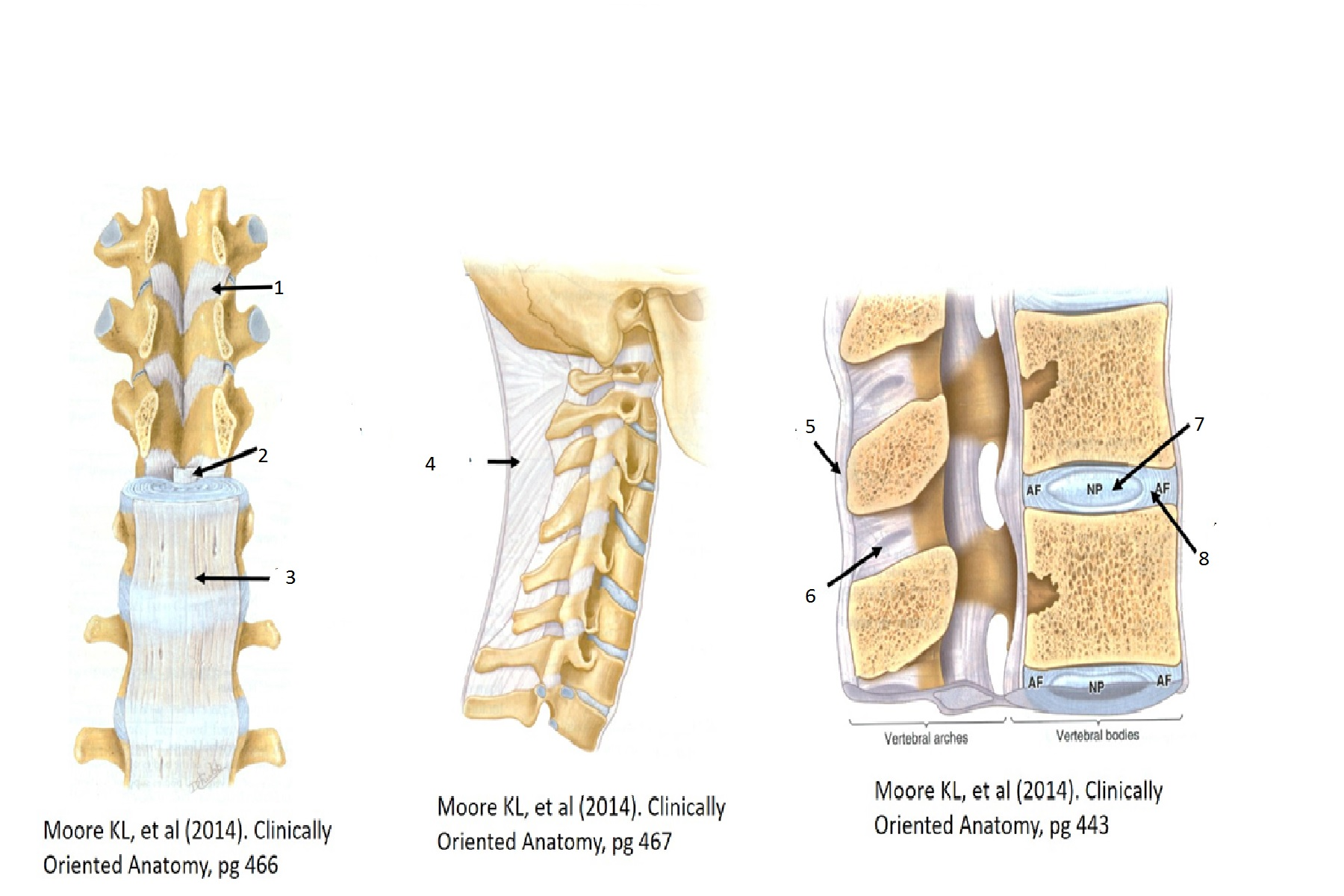Back, Vertebral Column (Musculoskeletal System Exam 1) Flashcards ...