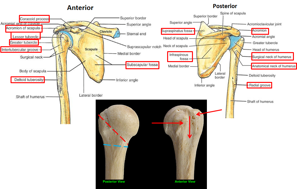 2.03 - scapula + posterior arm muscles & shoulder joint (anatomy, Human Body