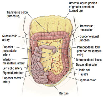 Inferior Mesenteric Artery And Large Intestine Anatomy Abdomen