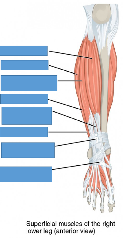 Lab 7 (Gross Anatomy Practical 1) Flashcards | Memorang