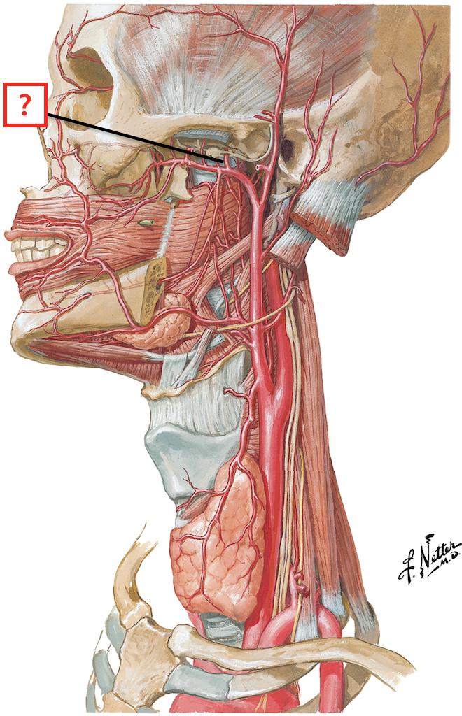 External Carotid Artery Branches Flashcards Memorang