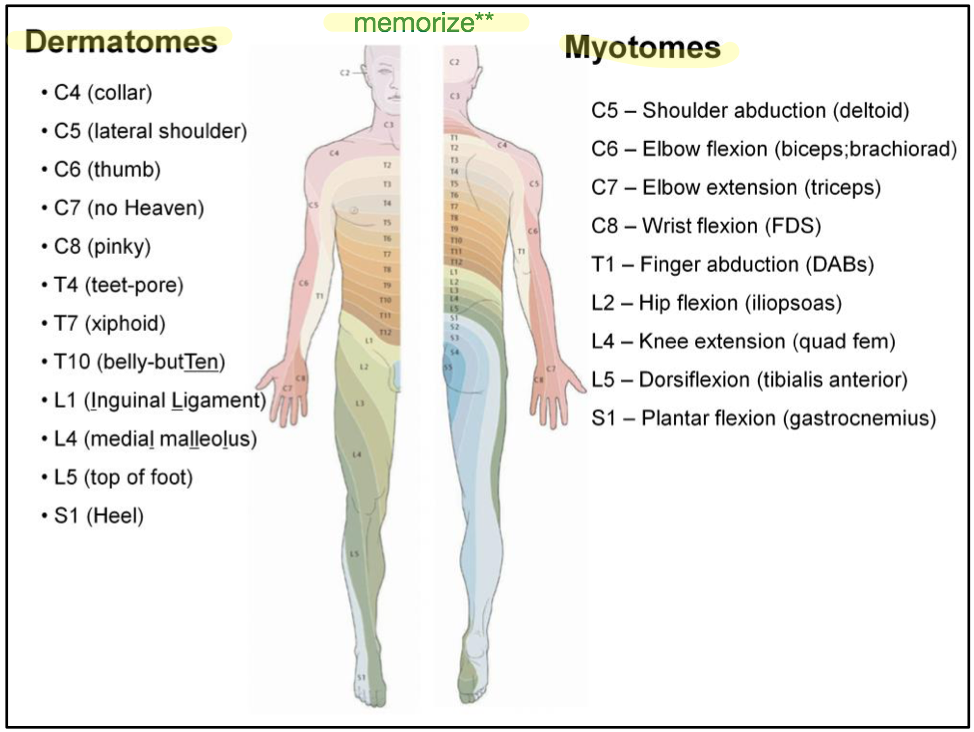 FOM Final - Dermatomes & Myotomes (Anatomy) (Phase 1) Flashcards ...
