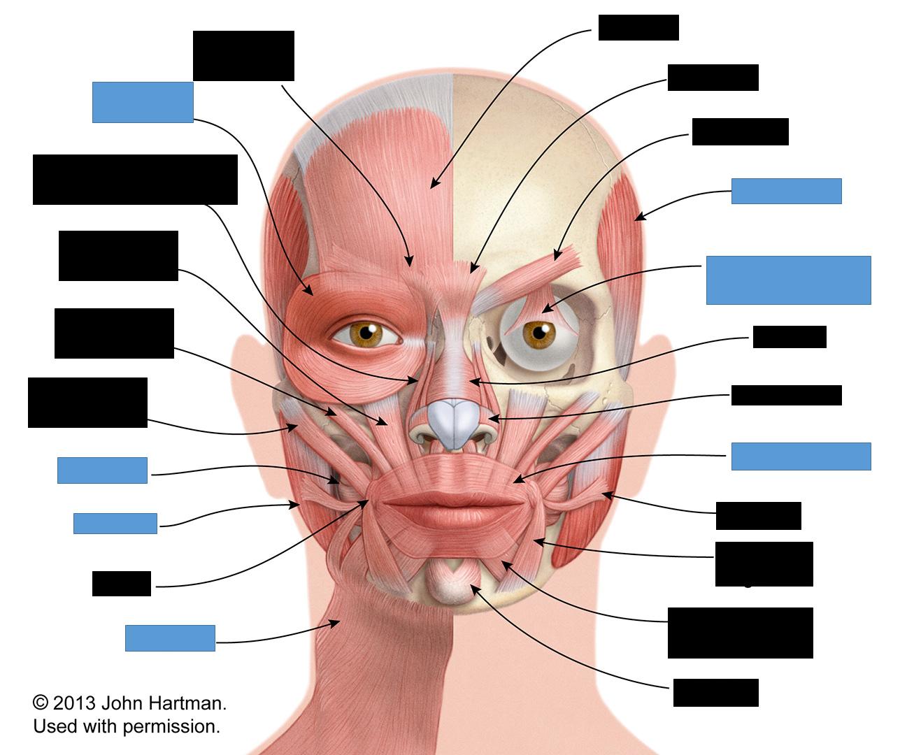 Face Gross Anatomy Flashcards Memorang