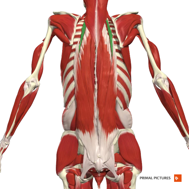 Thoracic Spine Muscles Flashcards Memorang