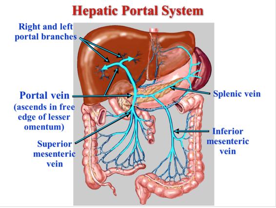 Gi 1ga2 Vascular Patterns Of The Abdomen Gi Gross Anatomy