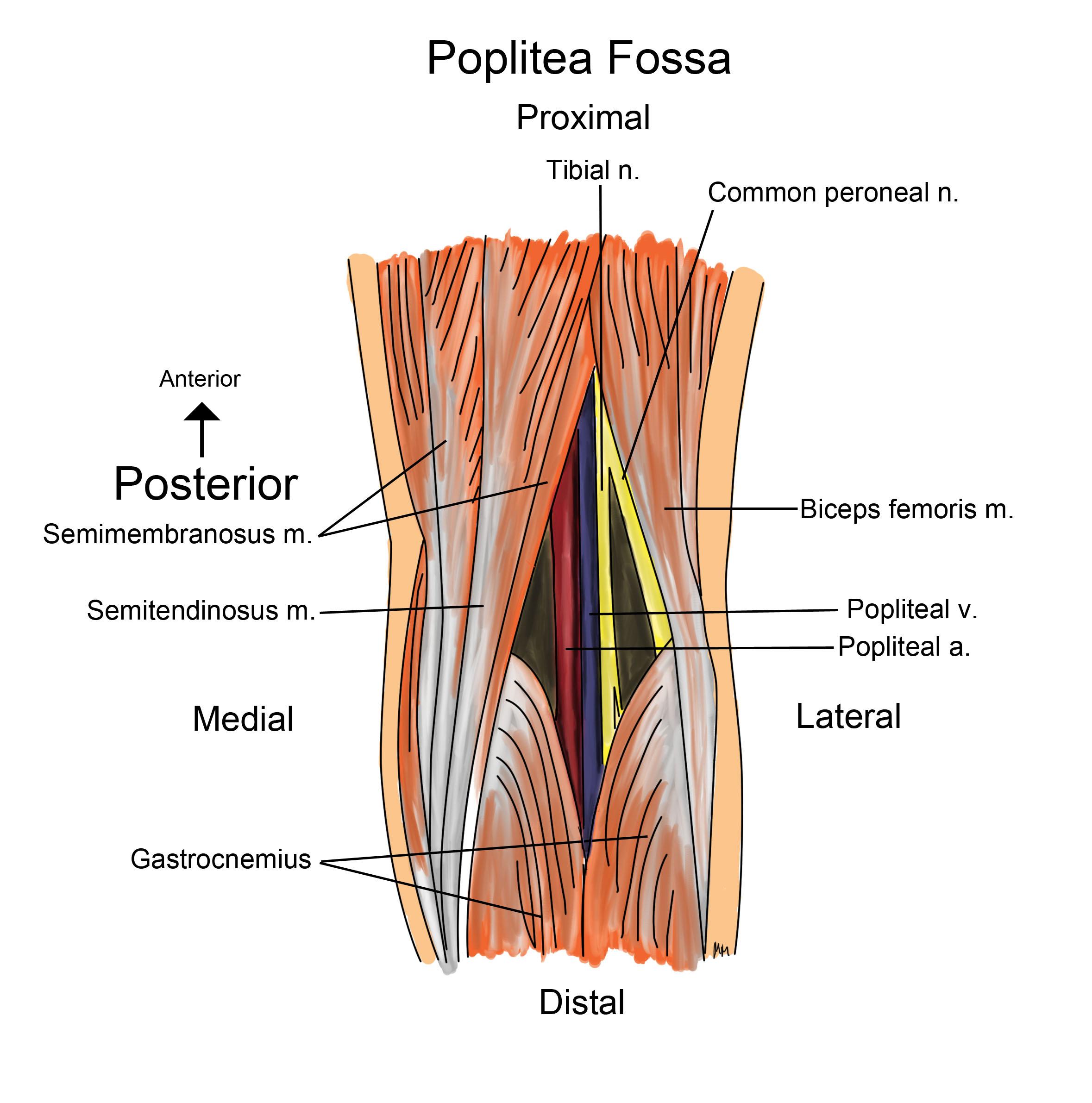 Lower Extremity (Anatomy Block 2 Exam 2) Flashcards | Memorang