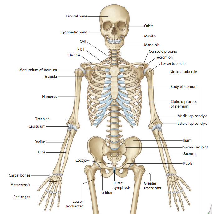 Skeleton of the Upper Limb (Anatomy) Flashcards | Memorang
