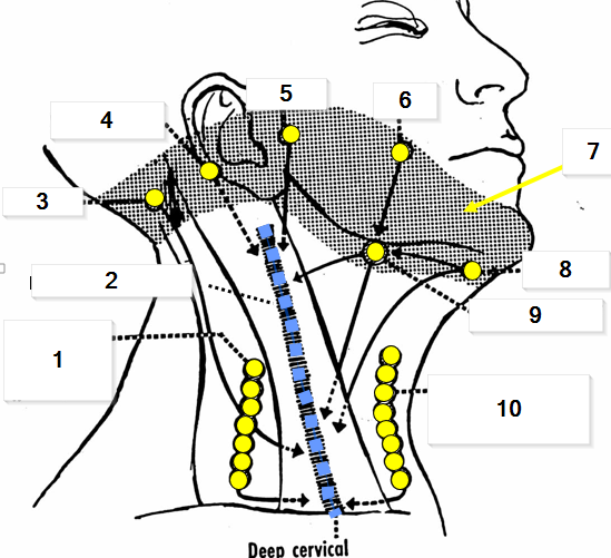Ga5 Fascia And Lymphatics Of The Head And Neck Gross Anatomy