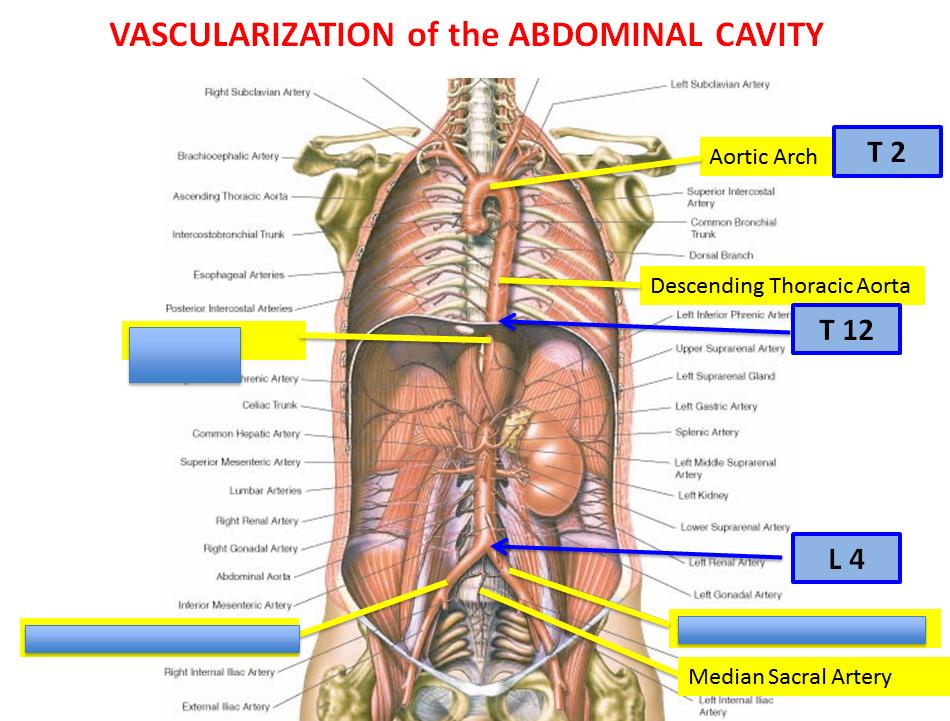 Lecture 4 Abdominal Vasculature Gross Anatomy Unit 7 Flashcards