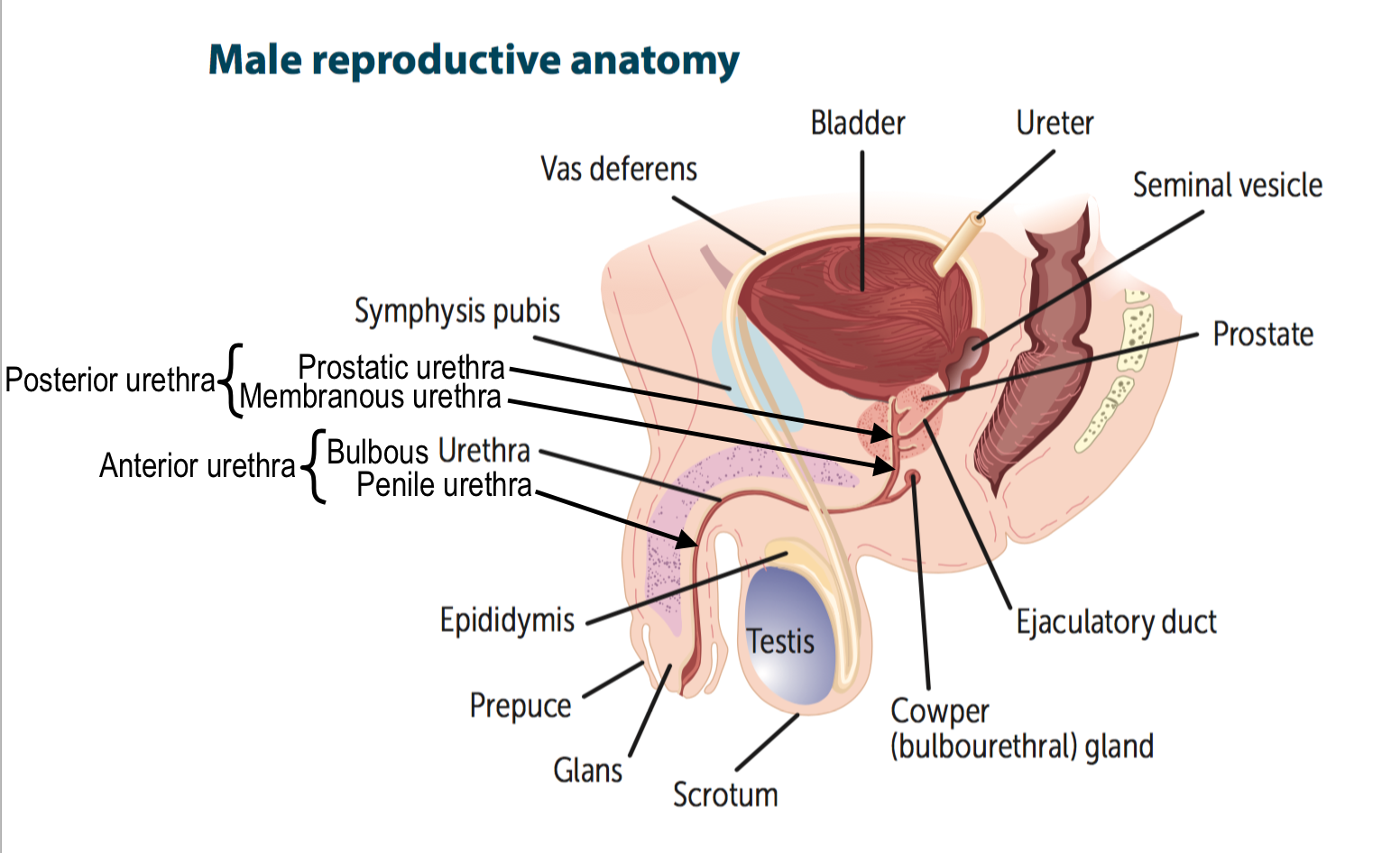 Reproductive Anatomy Flashcards Memorang