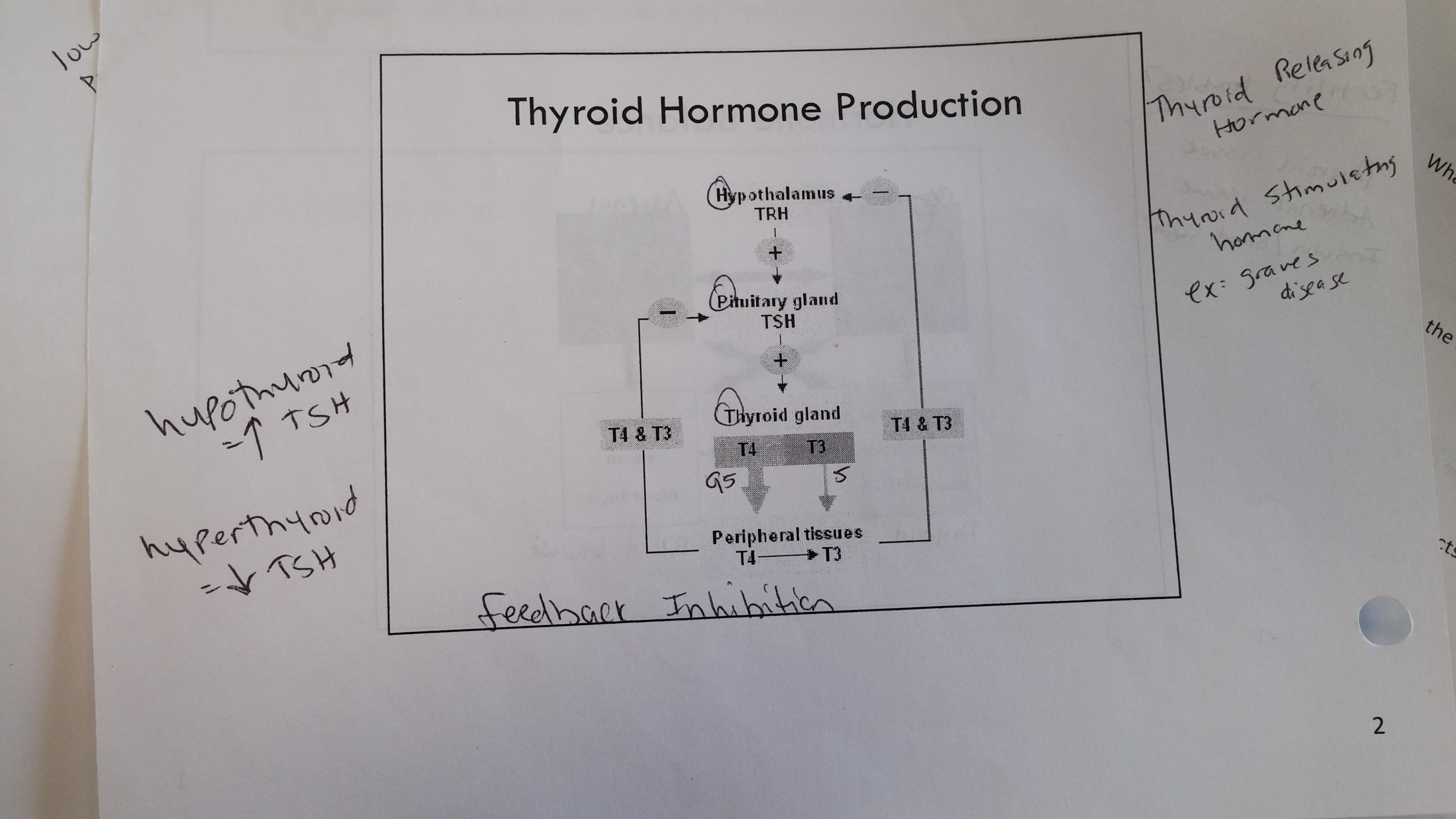 Endocrine system pharmacology flashcards memorang negative feedback loopg hypothalamus secretes trhpituitary gland releases tshthyroid gland ccuart Images