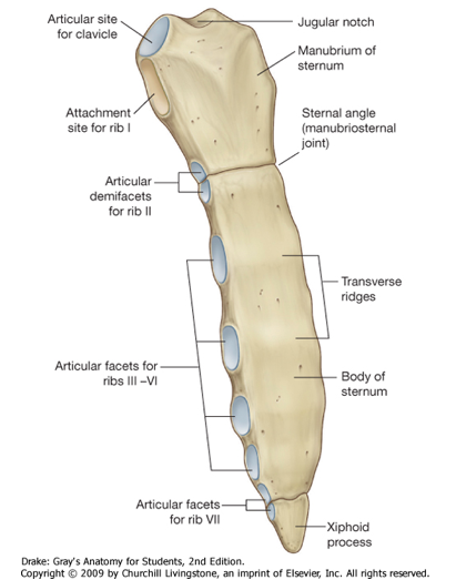 Sternum, ribs, joints (Anatomy) Flashcards | Memorang