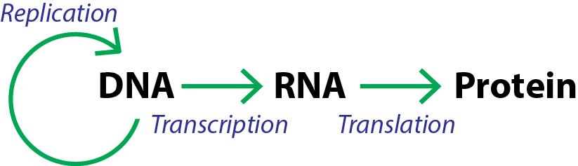 Rna Synthesis Biochemistry Flashcards Memorang