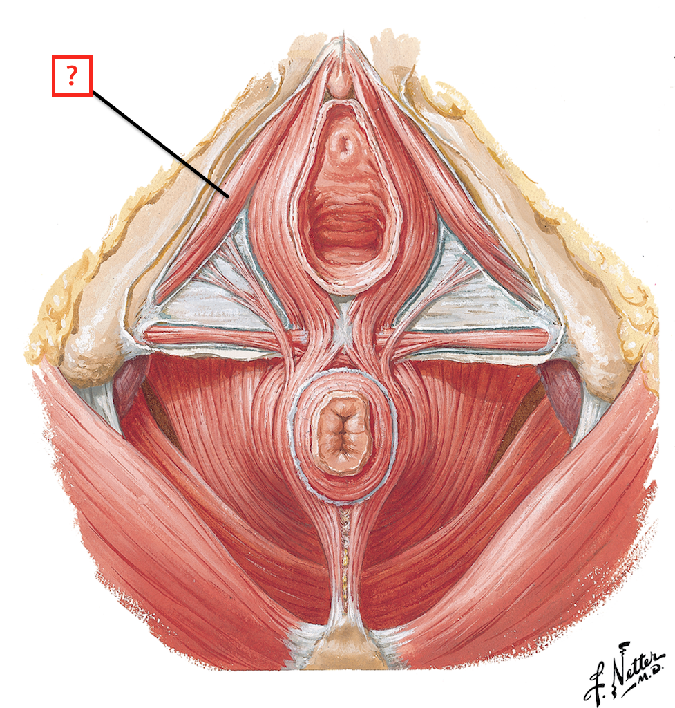 Muscles Of The Female Perineum Flashcards Memorang