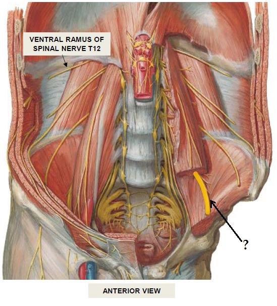 Posterior Abdominal Wall Block 3 Anatomy Flashcards Memorang
