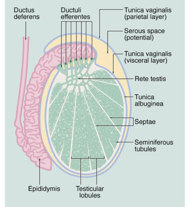 Male reproductive system (structure and function [ENDOCRINE I ...