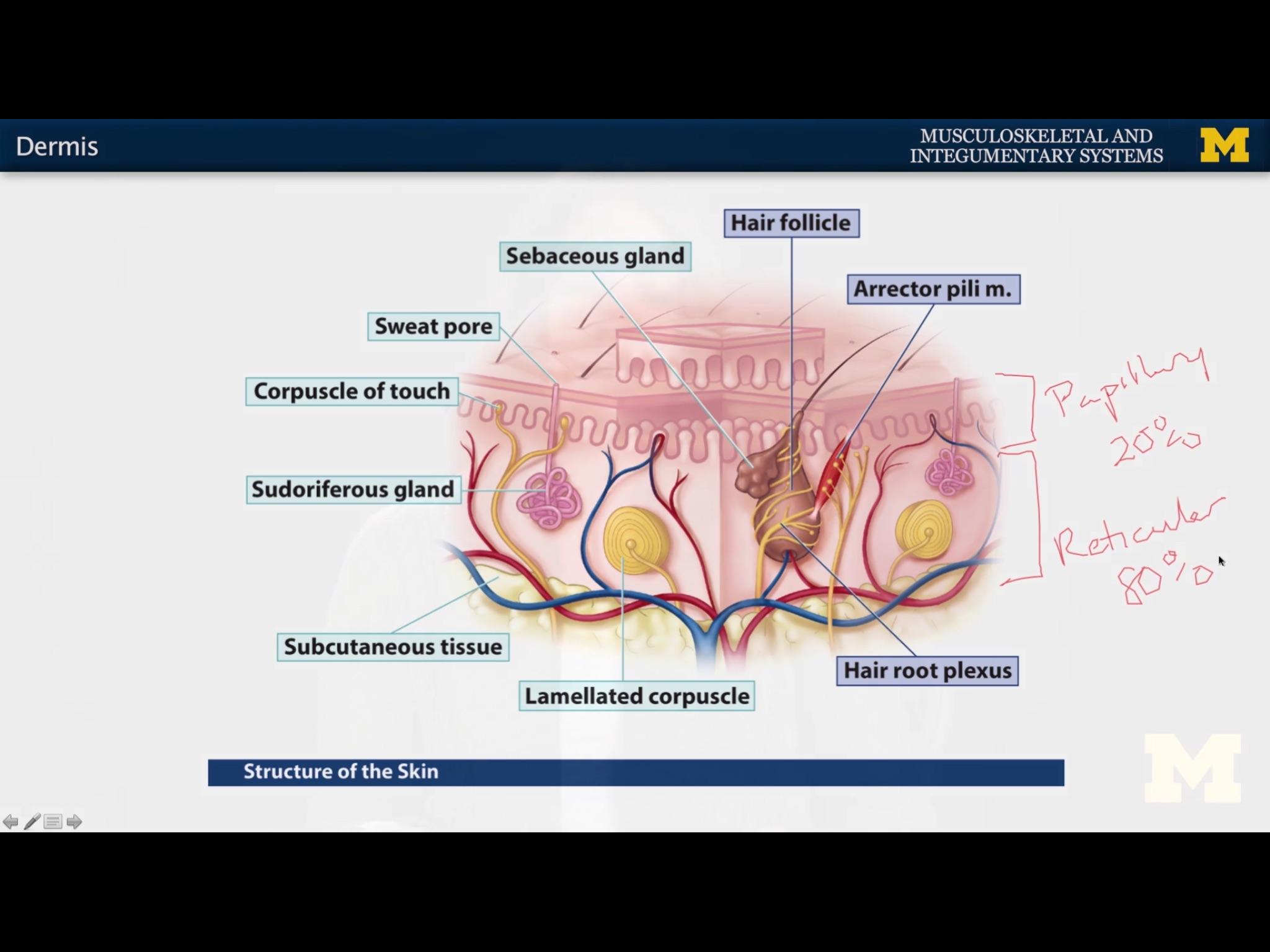 Dermis Hypodermis Melanin Integumentary Glands F Flashcards