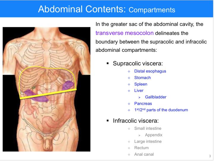 Anatomy Of The Abdomen 2 Supracolic Viscera Anatomy Flashcards
