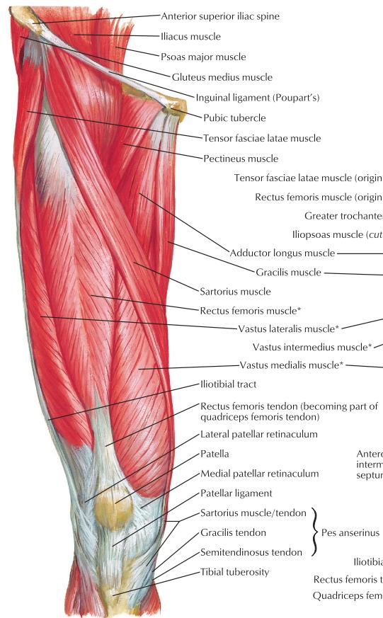 Anteriorextensor Thigh Anterior Thigh Muscles Are Leg Extensors